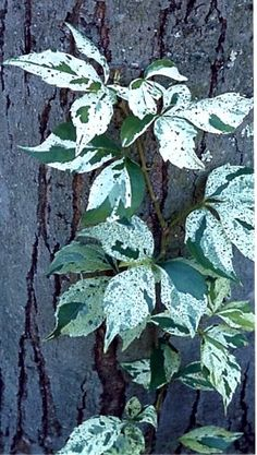 Variegated Virginia creeper vine (Parthenocissus quinquefolia 'Variegata') for sun or shade, clings to anything, turns red in fall