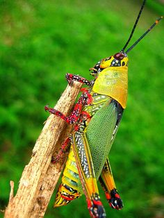 This is an extremely colorfull grasshopper I encountered in the Akuapem hills in Ghana, West Africa. Weird Insects, Cool Insects, Bugs And Insects, Colorful Animals, Nature Animals, Animals And Pets, Cute Animals, Grasshopper Pictures, Reptiles