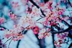 9 cherry blossom
