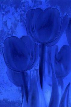 Blue tulips.  For similar pins please follow me at - https://www.pinterest.com/annelouise1959/colour-me-blue/