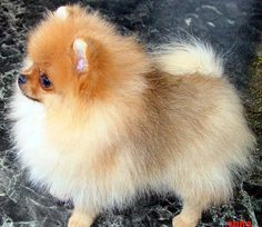This looks like my Abbi,when she was a puppy pomeranian very cute,& lovable! LOVE my ABBI