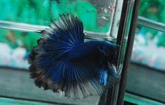 Beautiful Blue Black Butterfly Rosetail Halfmoon Betta. This fish is imported from one of the best Betta breeders in Thailand. The exact fish in the picture is the fish that you will receive. Also, some color may appear different as a result of being viewed on the internet. | eBay!
