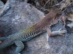 A 'Lagartija reticulada del Mantaro' (Ameiva reticulada) lizard, one of 150 new animal and plant species discovered in Peru in 2015