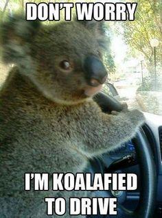 Funny animals photos with signs   #coalas #driver #cute #animal #fun #afunnybunny