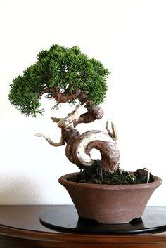 Bonsai 盆栽