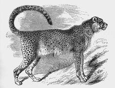Indian-Cheetah