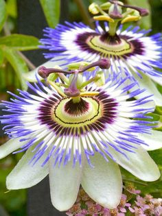 Passion Flower (Passiflora) – Symbol of Christ's Passion and Cross: including…
