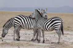 Zebras in Selenkay Conservancy (Amboseli eco-system).