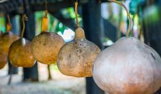 Drying gourds is an easy process that keeps them around indefinitely. Here's how to do it.. What you make of them after that is up to your creativity.
