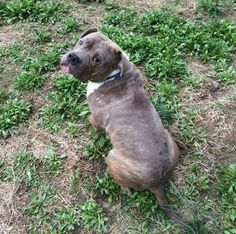 Pit Bull Terrier Mix Adult  • Male  • Medium Mt. Holly, NJ House trained   • Neutered  • Current on vaccinations
