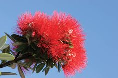 Photo about Pohutukawa Flower, known as the New Zealand Christmas Tree. Image of auckland, native, natural - 457429