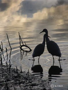 FRIENDS - (prints for sale).Waterbids, bird photography, pictures with birds, nature photos, wildlife photography, two waterbirds embracing, love, romance, friendship