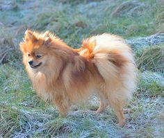 Pomeranian a    Like, repin, share! :)