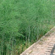 Asparagus officinalis. Lovely foliage. Deciduous. Zones 2 to 9. Grows 3 to 5 ft in height. Water weekly. Protect from gophers.