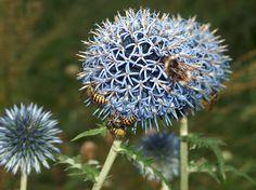 Kugeldisteln mit Bienen und Wespen