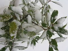 Bury snow on the bay tree