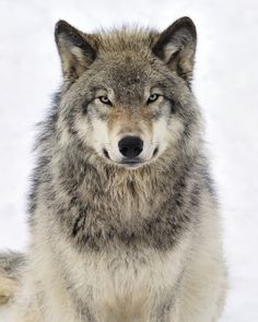 Look at the wise eyes of this Timber wolf, and it looks likes he smiling too.