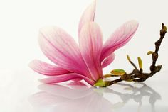 magnolia - photo/picture definition - magnolia word and phrase image
