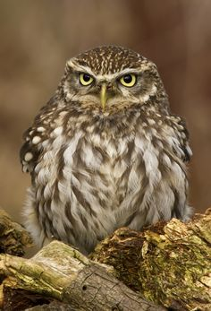 Little Owl                                                                                                                                                                                 More