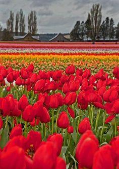 ✯ Springtime Tulip Field - WA--Put this on my bucket list