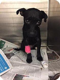 New York, NY - Patterdale Terrier (Fell Terrier). Meet Raven, a dog for adoption. http://www.adoptapet.com/pet/16938849-new-york-new-york-patterdale-terrier-fell-terrier