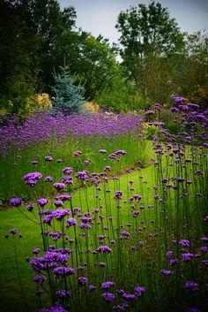 Verbena bonariensis - Plants, Flowers, Landscape Ideas and much much more at www. Prairie Garden, Meadow Garden, Cottage Garden Plants, Dream Garden, Herb Garden, Garden Kids, Garden Paths, Vegetable Garden, Garden Art
