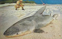 long whaler shark caught off the coast of Heron Island, Australia, 1957 All Sharks, Species Of Sharks, Australian Beach, Ocean Life, Heron, Under The Sea, National Geographic, Animal Kingdom, Sharks