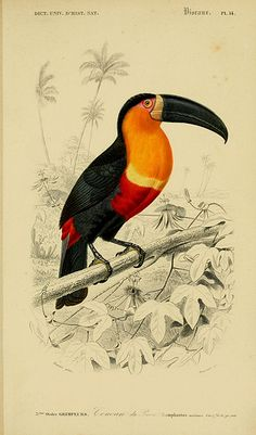 Toucan Victorian Era Scientific Illustration, Elegant Fine Art Archival Print on Luxurious Paper. Old World Charm Illustration. Art And Illustration, Old Illustrations, Gravure Illustration, Botanical Illustration, Vintage Bird Illustration, Vintage Drawing, Illustration Botanique, Bird Poster, Animal Posters