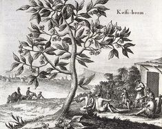 Koffieboom, O. Dapper, Beschrijving van Asië, Amsterdam 1680, p. 62