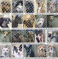 All these dogs have until 7pm Tuesday!!! All will die if not adopted! Heelers, labs, puppies and seniors. All just waiting to be adopted!!!    Located at Odessa, Texas Animal Control.