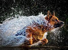 Shepherd Running Through Water Action Photo — Animal Talk