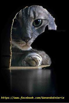 Funniest Animal Pictures : Professional pet photography: 40 wonderful and cute pictures of photogenic cats I Love Cats, Crazy Cats, Cool Cats, Beautiful Cats, Animals Beautiful, Funny Animals, Cute Animals, Wild Animals, Gatos Cats
