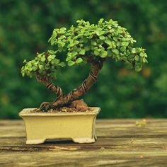 Portulacaria afra (dwarf Jade) bonsai tree by Gilbert Cantu with Little Jade Bonsai.