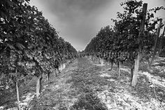Langhe/Roero - Uve Nebbiolo by Alessandro__78, via Flickr Places, Outdoor, Outdoors, Outdoor Games, The Great Outdoors, Lugares