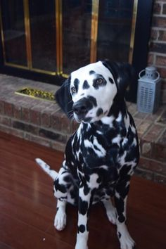 Great Dalmation Chubby Adorable Dog - 1f870f5038b5d210b227541fa5b27365--cutest-dogs-cutest-animals  Graphic_19377  .jpg