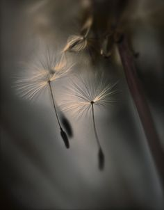 The tears of a dandelion Color Photography, Macro Photography, Dandelion Pictures, Dandelion Wish, Dandelion Seeds, Dandelion Flower, Blowin' In The Wind, Make A Wish, Beautiful World
