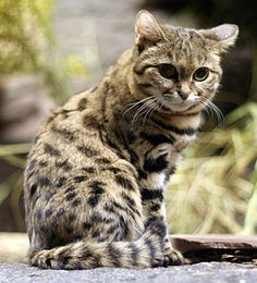 Black-Footed Cat:Habitat Black-Footed Cats can be found in the savannah and steppe regions of southern Africa. They are solitary and are mainly active during the night.