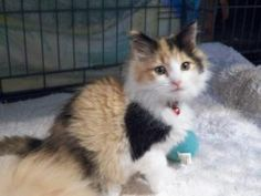 Jessie is an adoptable Maine Coon Cat in Broomall, PA. I am cute as a button ,10 wks old and looking for my forever home.This cat has tested FeLV/FIV. negative, is current on vaccinations, parasite-fr...