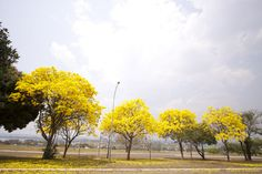 """Ipê Amarelo, Tabebuia [chrysotricha or ochracea]. Ipê-amarelo em Brasília, Brasil.  This tree is in Brasília, Capital of Brazil.  Text, in english, from Wikipedia, the free encyclopedia """"Trumpet tree"""" redirects here. This term is occasionally used for the Shield-leaved Pumpwood (Cecropia peltata).  Tabebuia  Flowering Araguaney or ipê-amarelo (Tabebuia chrysantha) in central Brazil  Scientific classification  Kingdom: Plantae (unranked): Angiosperms (unranked): Eudicots (unranked): Asterids…"""