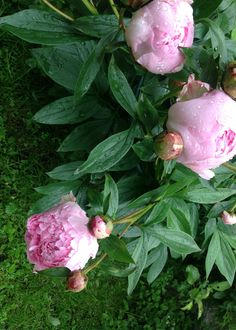 Light pink peonies and water drops