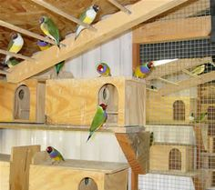 Gouldian finch breeding information - finch supplies - lady gouldian finches