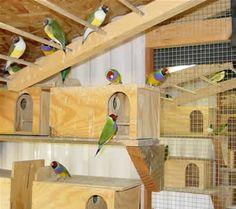 Gouldian finch breeding information - finch supplies - lady gouldian finches
