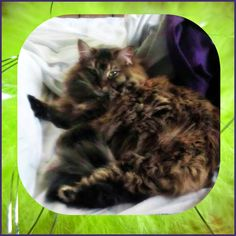Long Island, NY: Female Maine Coon is Now Orphaned...