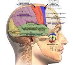 Cerebro Humano Nueva Medicina Germanica Hamer NMG Corteza Cerebral Hoja Embrionaria Ectodermo Leyes Bilogicas 5LB
