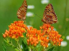 Milkweed plants - the only thing a monarch butterfly will lay its eggs on.   Please spread the word to backyard gardeners, churches and parks officials: plant some milkweed - any little patch will help save the monarch butterflies.