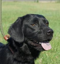 07/31/14 sl ~Petango.com – Meet Sinatra, a 6 years 4 months Retriever, Golden / Mix available for adoption in VALLEY FALLS, KS