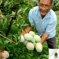 Thumbs up for this Peruvian mango farmer showing off his mango trees! His cooperative invests their funds in environmental protection farmer safety. Mango Fruit, Mango Tree, Ripe Fruit, Exotic Fruit, Tropical Fruits, Exotic Flowers, Bonsai Fruit Tree, Fruit Trees, Fruit Plants
