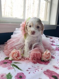 "Acquire terrific tips on ""spaniel pups"". They are accessible for you on our internet site. Cute Dogs And Puppies, Baby Puppies, Cute Little Animals, Cute Funny Animals, Cocker Spaniel Puppies, Cute Dog Pictures, Dog Paws, Animals Beautiful, Animals And Pets"