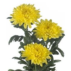 Chrysanthemum Blooms Kournikova are a yellow, disbudded, single headed cut flower variety. 70cm tall & wholesaled in 10 stem wraps.