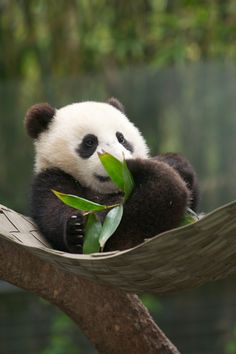 Baby panda taking it easy in a hammock while having a snack...and looking pretty darn happy about it!
